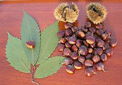 American Chestnut leaves and nuts