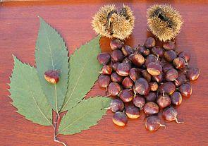 Amerikanische Kastanie (Castanea dentata): Blatt und Nüsse