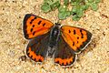 American Copper - Lycaena phlaeas, Glendening Tract, Jug Bay Sanctuary, Lothian, Maryland - 8672912265.jpg