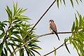 American Kestrel - Halcón Primito (Falco sparverius isabellinus) (23581085540).jpg