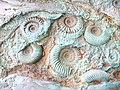Ammonites at Wisley^ - geograph.org.uk - 1484363.jpg