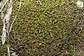 Anastrophyllum minutum (b, 113306-471149) 0276.JPG