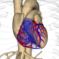 Anatomography rib cage and heart.png