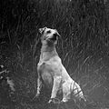 Andreas Moes Hund (ca. 1910) (20888801742).jpg