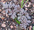 Anemone apennina new foliage - Flickr - peganum.jpg