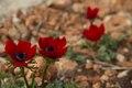 Anemone coronaria taken at Arbel, Israel.tif