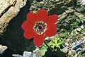 Anemone pavonina 1.jpg