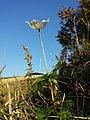Anemone sylvestris sl31.jpg