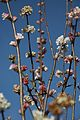Anglesey Abbey And Lode Mill 17-2-2013, Signs Of Spring (8540810695).jpg