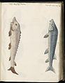 Animal drawings collected by Felix Platter, p1 - (172).jpg