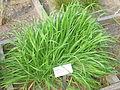 Anisantha sterilis - Oslo botanical garden - IMG 8879.jpg