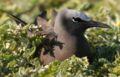 Anous stolidus nesting cropped.JPG