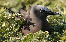 Anous stolidus nesting cropped.JPG