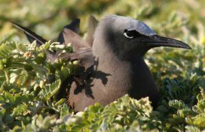 Anous stolidus nesting cropped