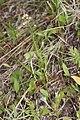 Antennaria racemosa 4841.JPG