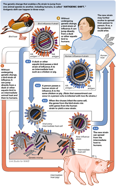 SWINE FLU – Influenza A virus subtype H1N1