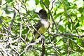 Apical Flycatcher (Myiarchus apicalis) (8079765652).jpg