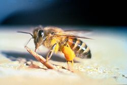 Africanized Honey Bee Removal Sarasota