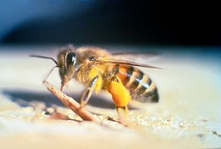 Africanized bee common name