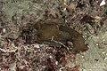 Aplysia punctata 27005339.jpg