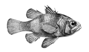 Apogonichthyoides nigripinnis (Day).png