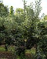 Apple tree in an orchard orchard at Stourmouth Kent England.jpg