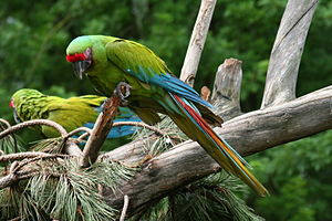 Great green macaw - Image: Ara ambigua
