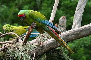 Great green macaw species of bird