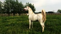 File:Arabian horses prancing around.webm