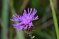Araignées, insectes et fleurs de la forêt de Moulière (Le Gâchet de Villiers) (29052631651).jpg