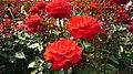 Aramaki rose park11s2816.jpg