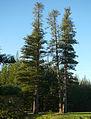 Araucaria heterophylla Norfolk Island 16.jpg