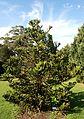 Araucaria montana (Blue Mountains BG).jpg
