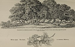 Arboretum et fruticetum britannicum, or - The trees and shrubs of Britain, native and foreign, hardy and half-hardy, pictorially and botanically delineated, and scientifically and popularly described (19561528910).jpg