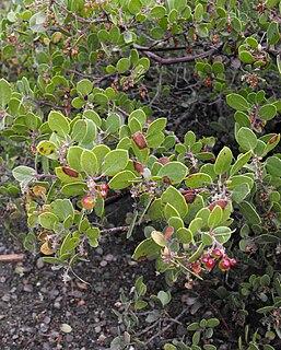 <i>Arctostaphylos rudis</i> species of plant