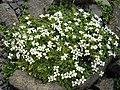Arenaria tetraquetra 4.JPG