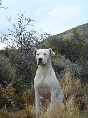 The Dogo Argentino (also known as the Argentin...