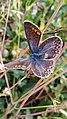 Argus Bleu femelle 20210911 171730.jpg