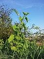Aristolochia clematitis sl20.jpg