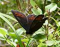 Arran Brown. Erebia ligea (15581795324).jpg