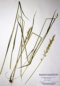 Arrhenatherum elatius ssp. elatius BW-1979-0612-0482.jpg