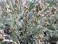 Artemisia pedatifida — Matt Lavin 011.jpg