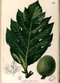 Artocarpus camansi Blanco2.457-original.png
