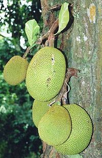 Artocarpus heterophyllus fruits at tree