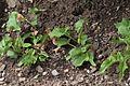 Arum maculatum in Jardin Botanique de l'Aubrac 02.jpg