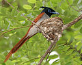 Asian Paradise Flycatcher (Terpsiphone paradisi)- male with a feed at nest W IMG 9304.jpg