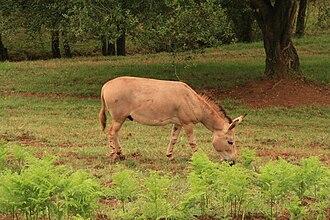 Cabarceno Natural Park - Somali wild ass in Carbárceno