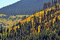 Aspen on mountainside (3971435995).jpg