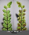 Asplenium trichomanes subsp. quadrivalens sl8.jpg