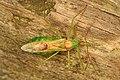Assassin Bug - Zelus luridis, SERC, Edgewater, Maryland.jpg